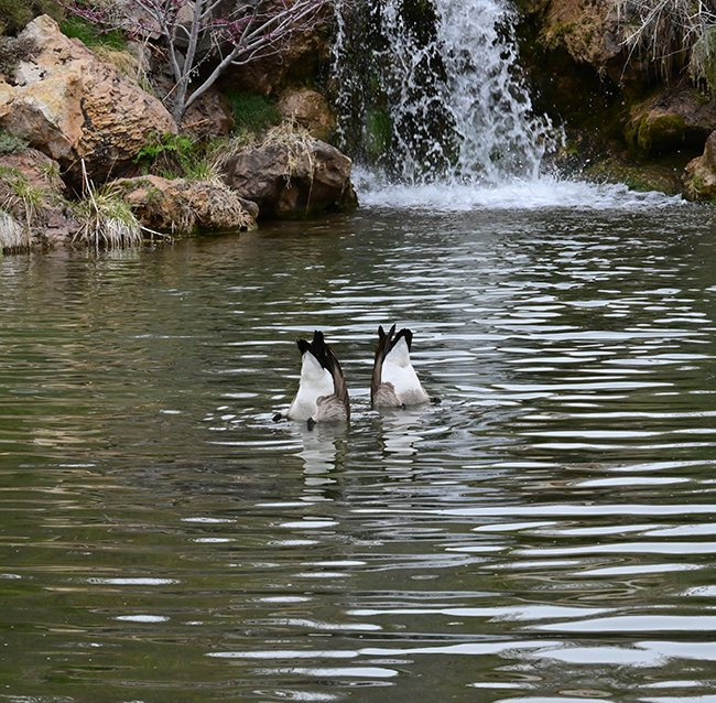 Canada-Goose-Butts-1-GLE21.JPG
