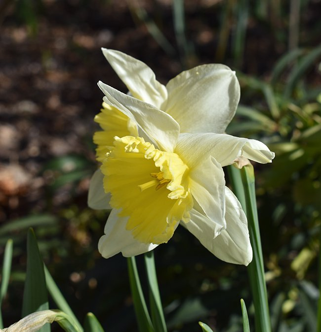 Narcissus-'Ice-Follies'-Flower-1-JWB21.JPG