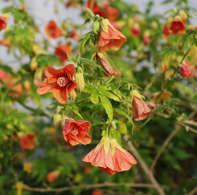abutilon-pictum-thompsonii-flowers-hms20.jpg