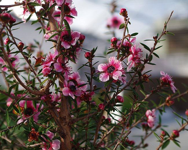 leptospermum-scoparium-flowers-hms20.jpg