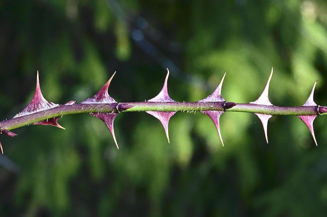 rosa-sericea-subsp-omeiensis-f.-pteracantha-prickles-1-gle20.jpg